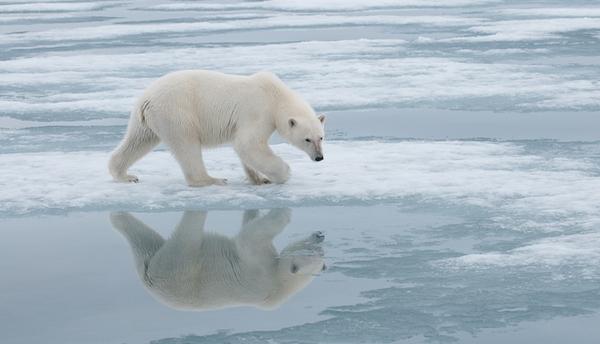 Fotky nadace Polar Bears International